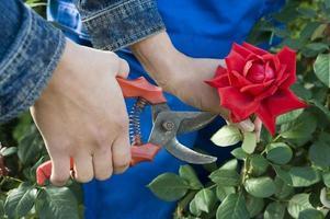 närbild av en trädgårdsmästare som skär en röd ros