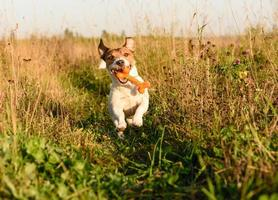 energisk hund som hämtar leksakben.