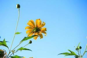 solros med blå himmel foto