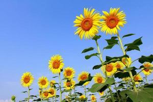solrosfält med blå himmel foto