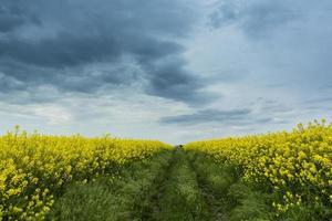 rapsfält på våren och vacker himmel foto