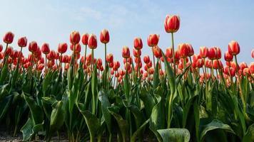 fält av tulpaner med en blå himmel
