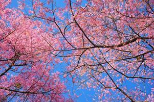 vårkörsbärsblommor med bakgrund för blå himmel