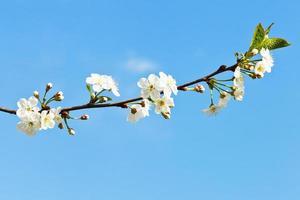 kvist av körsbärsblommor på blå himmel foto