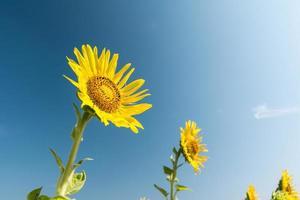 vackert landskap med solrosfält över blå himmel foto