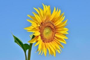 mogen, ung solros som blommar mot den blå himlen foto