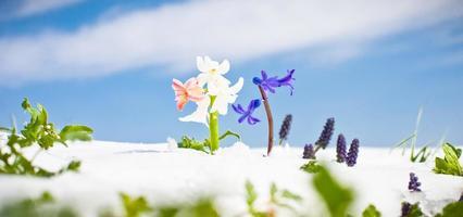 första vårblommor med snö mot blå himmel foto