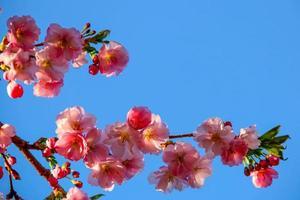 körsbärsblomning mot blå himmel foto