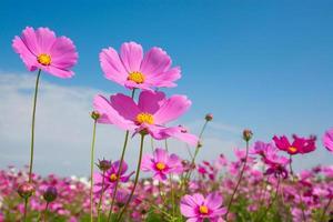 kosmos blomma med blå himmel foto