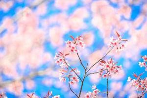 vacker körsbärsblomning mot blå himmel foto
