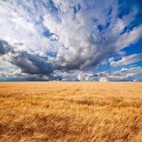 fält av vete dramatisk molnig blå himmel foto