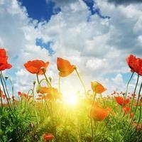 fält med vallmo och sol på himlen