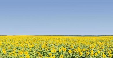 fält av mogna solrosor med blå himmel