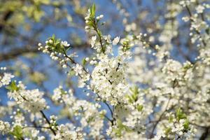 äppelträd blommar. solig dag. blå himmel
