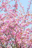 blommande grenar med dubbla körsbärsblommor och blå himmel foto