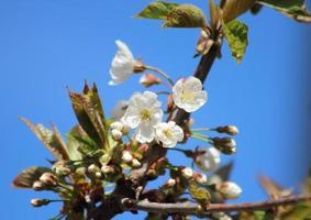 vita körsbärsblommor i sping med blå himmel foto
