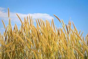 vass av gräs under blå himmel med moln foto