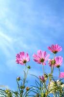 c.sulphureus cav. eller svavelkosmos och blå himmel foto