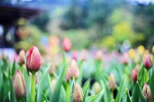 vacker bukett tulpaner foto