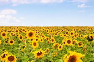 gula solrosor över blå himmel foto