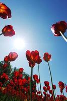 röda tulpaner mot himlen