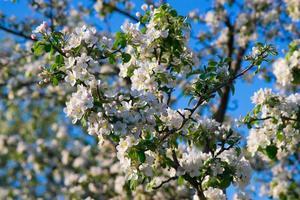 mot det blåa himlen blommande äpple foto