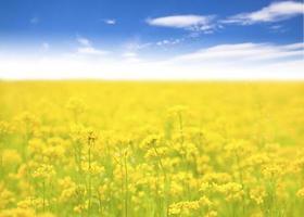 gul blomma i fält och bakgrund för blå himmel