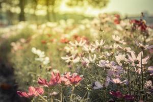 c.sulphureus cav. eller svavelkosmos, blomma och blå himmel foto