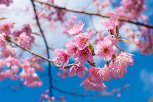 rosa vild himalayan körsbärsblom på blå himmel bakgrund
