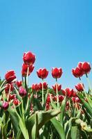dekorativa röda tulpaner på rabatt på blå himmel foto