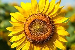 solros, fält, solrosor, blå, himmel, natur, grön, sommar, ljus