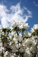 """japansk azalea vit """"snöstorm"""" under blå himmel på nära håll"""