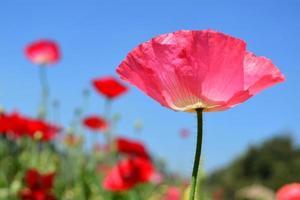 närbild rosa vallmo shirley blomma och blå himmel bakgrund.