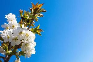 bakgrund med grenen av äppleblommor, på blå himmel