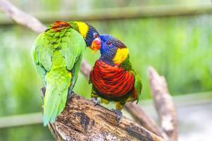 regnbåge lorikeet papegoja foto