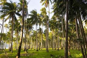 kokosnötslund foto