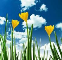 gula krokusar mot himlen foto
