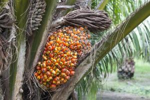 palmfrukt på trädet foto