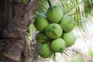 grön kokosnöt vid trädet foto
