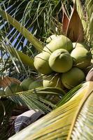 grön kokosnöt på kokospalmen, närbild, vertikalt skott foto