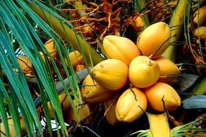 kokosnötter foto