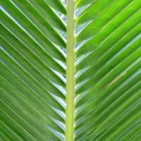 coco palmblad foto