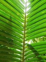 kokosnötblad foto