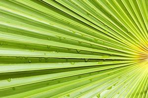 fläkt palmblad bakgrund foto