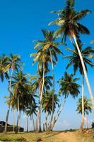 palmer vid stranden i Sri Lanka