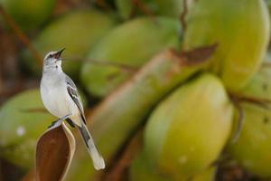tropisk hånfågel