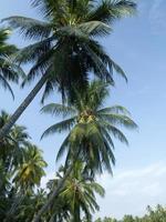kokosnötpalmer foto