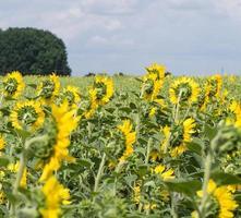solrosor växer på jordbruksfältet. foto