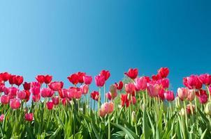 röda och rosa tulpaner underifrån