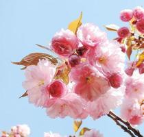 japansk körsbär foto